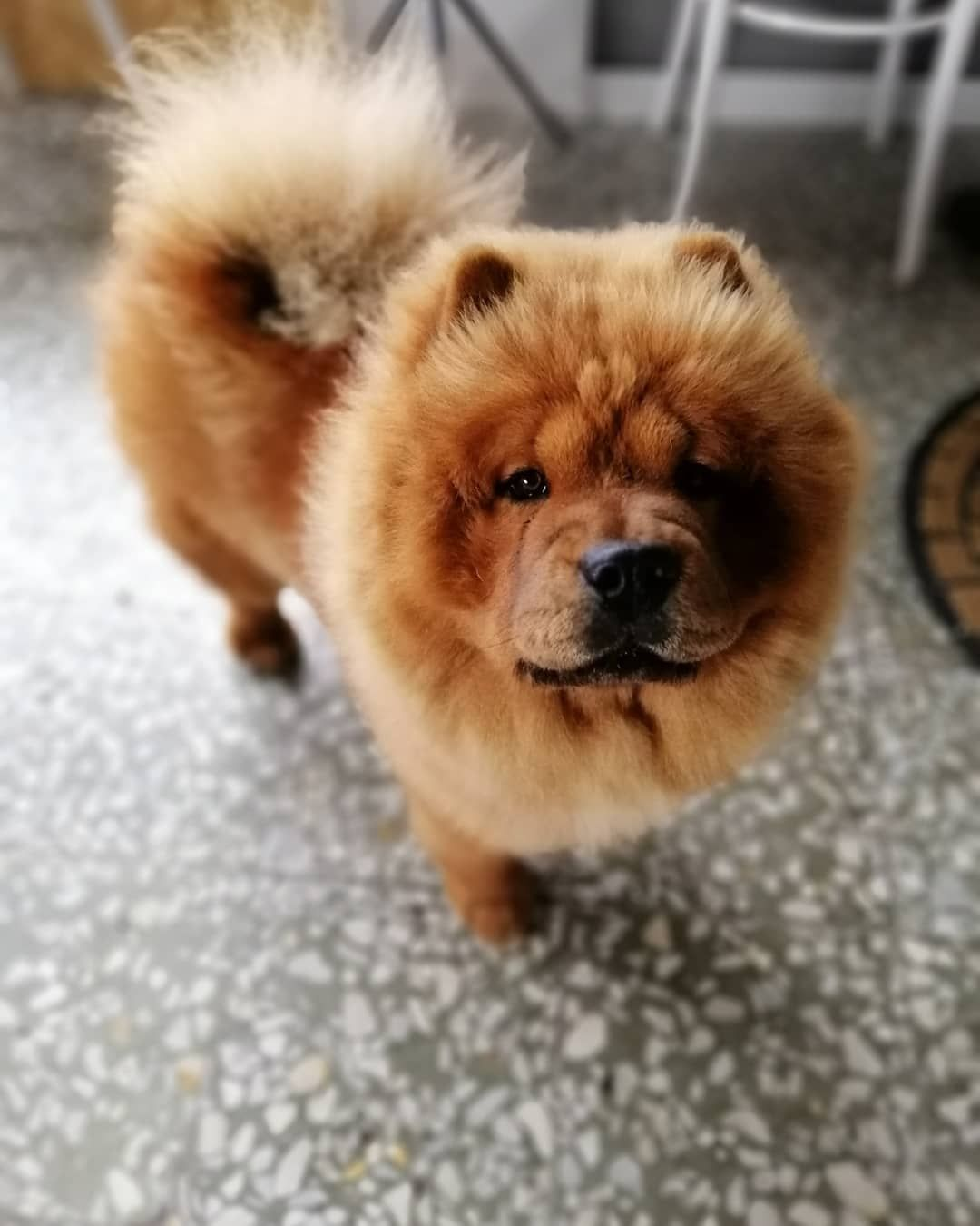 5 Things To Know About Chow Chows Chow Chow Dogs Chow Chow
