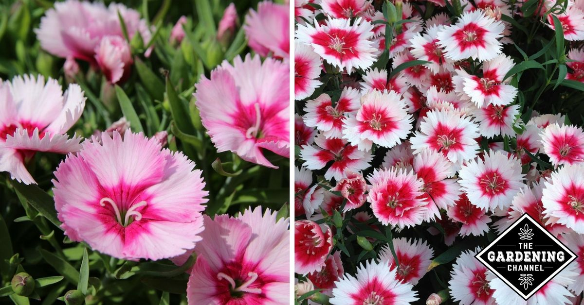 Growing Dianthus Easy To Grow Flowers Growing Carnations Carnations