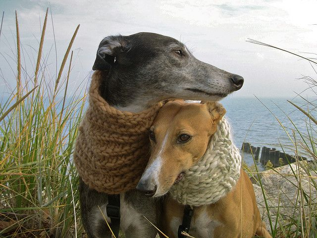 Greyhounds with scarves