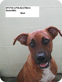 Alexandria, VA Boxer/Labrador Retriever Mix. Meet Bear