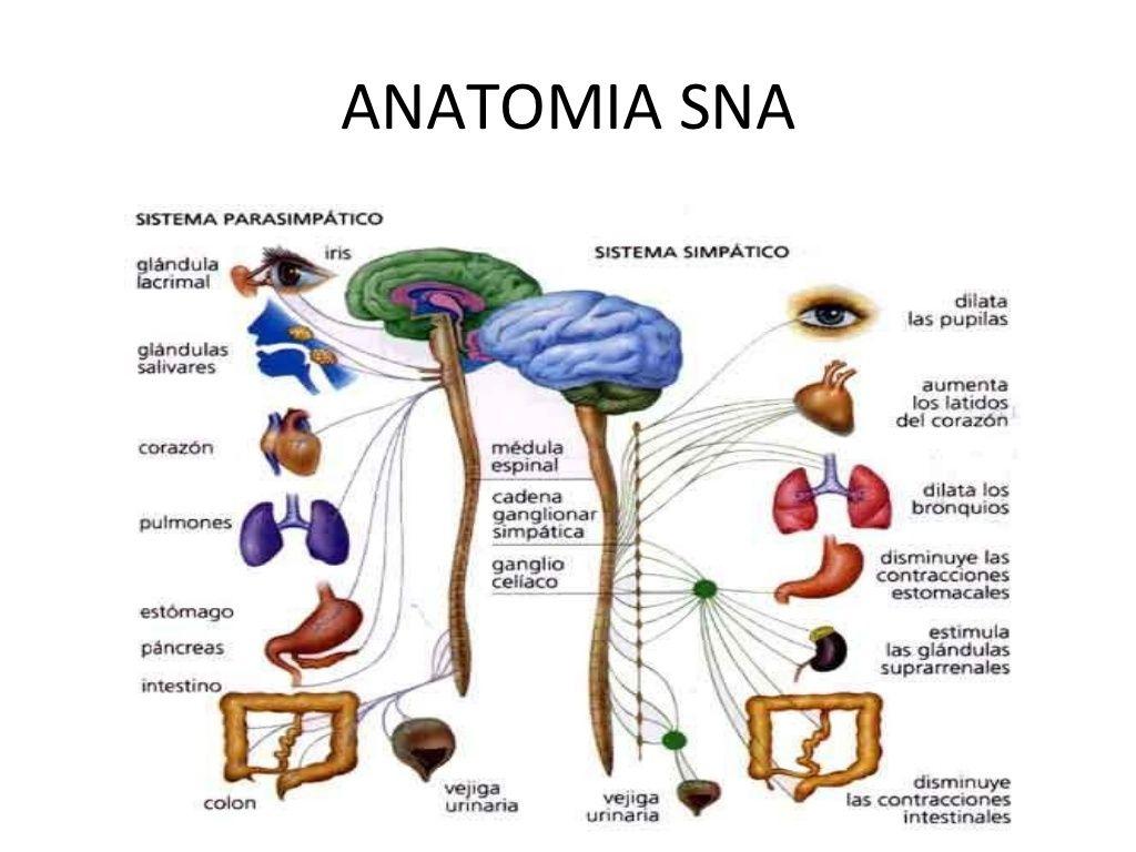 ANATOMIA SNA | sistema nervioso | Pinterest | Sistema nervioso ...