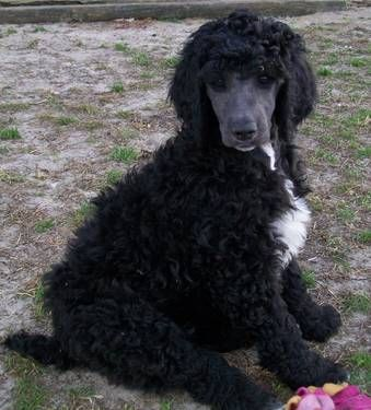 Akc Standard Poodle Black White Poodle Puppy Female Dogs And