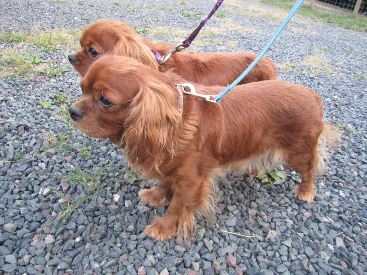 A Pair Of Ruby Cavvies Cavalier King Charles King Charles Cavalier