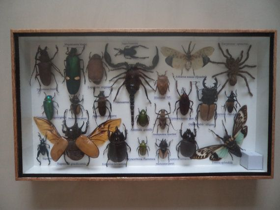 23 Real Mounted Insects Boxed Display Taxidermy by amazinginsects