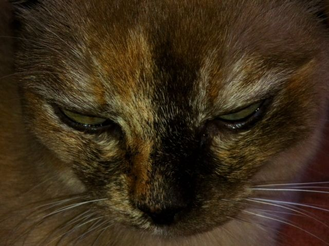 Oh The Evil That Lurks Within The Tortie Mimi Lagowski Champagne Tortie Burmese I Love Cats Cats Tortie