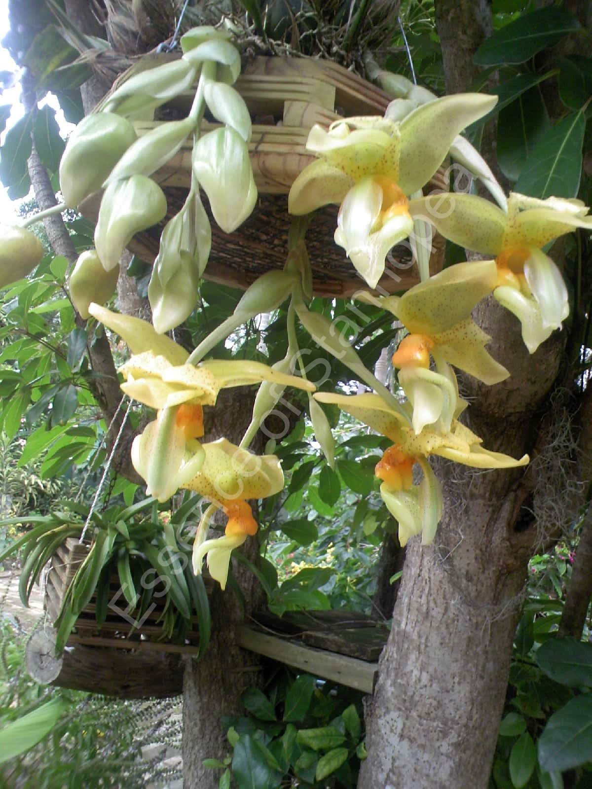 Stanhopea graveolens var aurata - The scent is very strong and spicy, rather complicated, with many pungent undertones of clove, cinnamon, and all spice. The flowers appear delicate and light, but actually quite tough and waxy.
