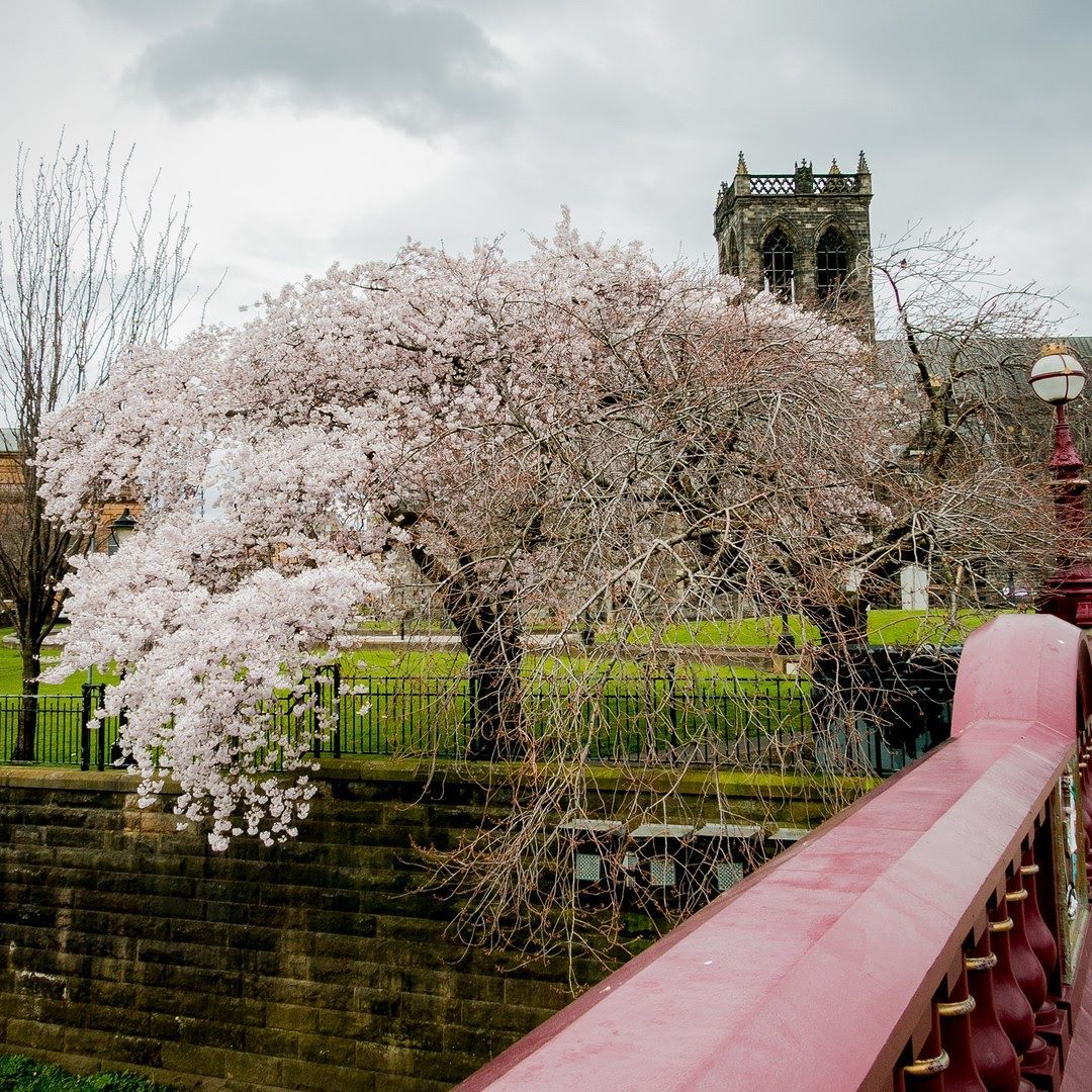 Paisley Scotland On Instagram Cherry Blossom Trees Just Across From Paisley Abbey Starting To Blossom Positi Paisley Scotland Scotland Cherry Blossom Tree