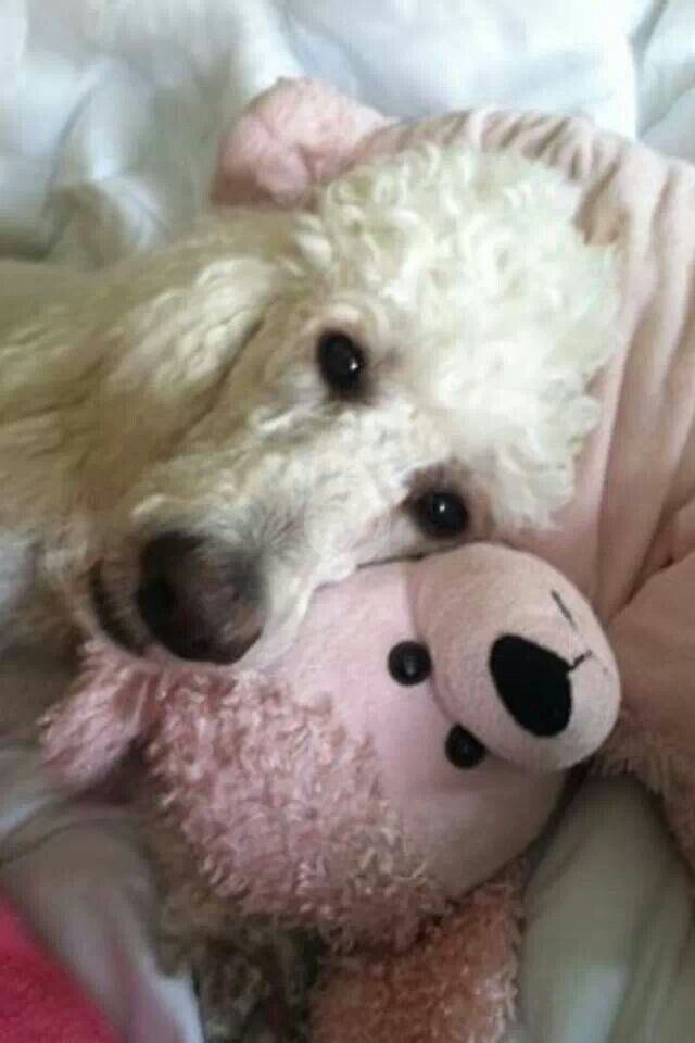 White Poodle with friend...  all love...