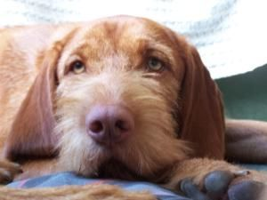 Hungarian Wirehaired Vizsla Wirehaired Vizsla Vizsla Pedigree Dog