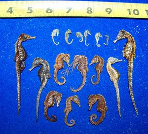 Dried Real Sea Horses Seahorse For Sale Seahorse Horse Crafts