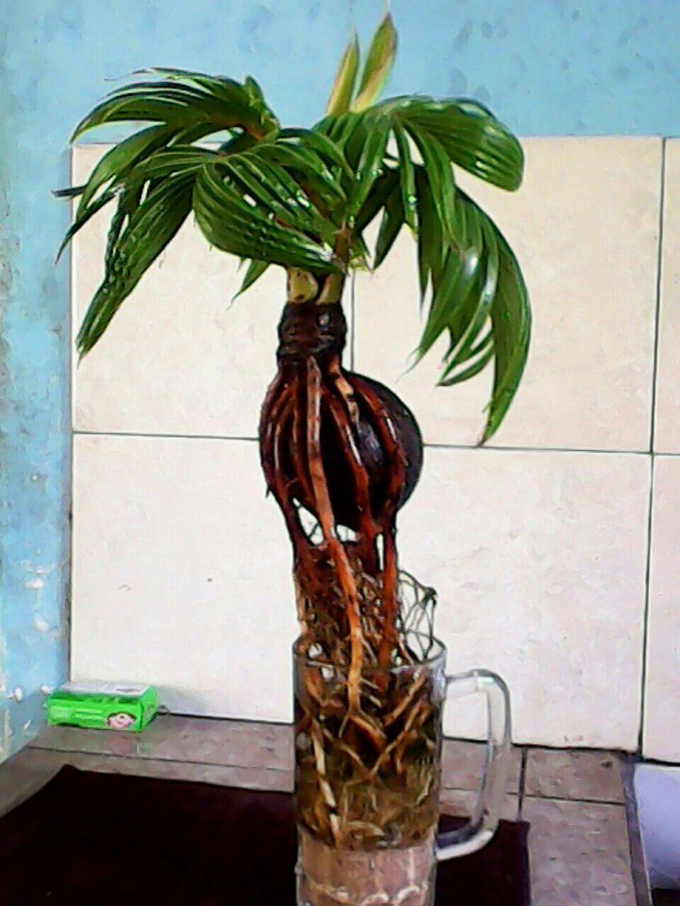 Pin Oleh Mohd Hafifudin Hamzah Di Bonzai Pohon Bonsai Tanaman