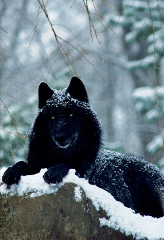 Чорни волк картинки