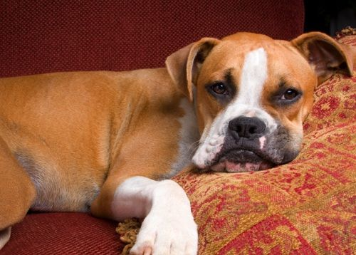 Learn All About Boxers Pets Boxer Dog Breed Dogs Boxer Dogs