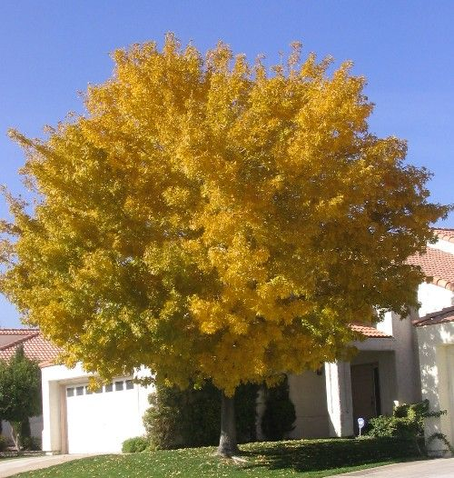 Fan Tex Rio Grande Ash Tree Fraxinus Garden Fast