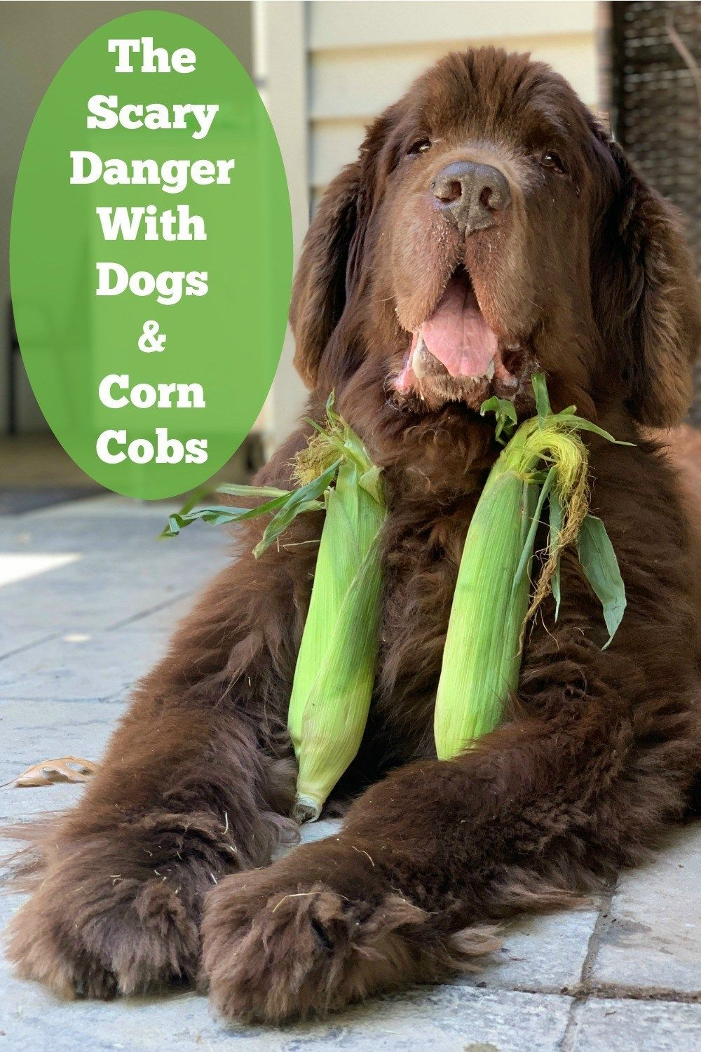 The Scary Danger With Dogs And Corn Cobs With Images Dogs Corn On Cob Big Dogs