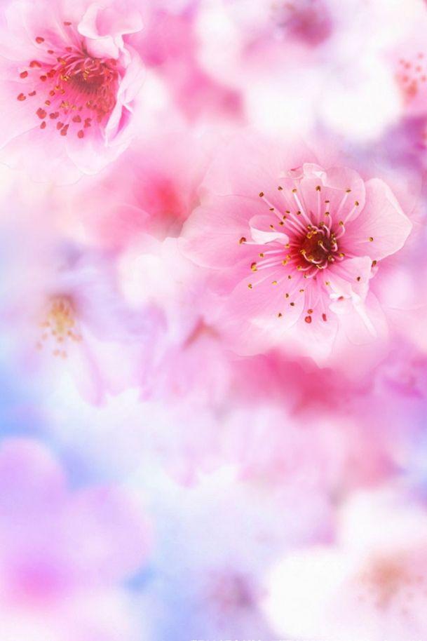 Pink dominates, sakura iPhone wallpaper