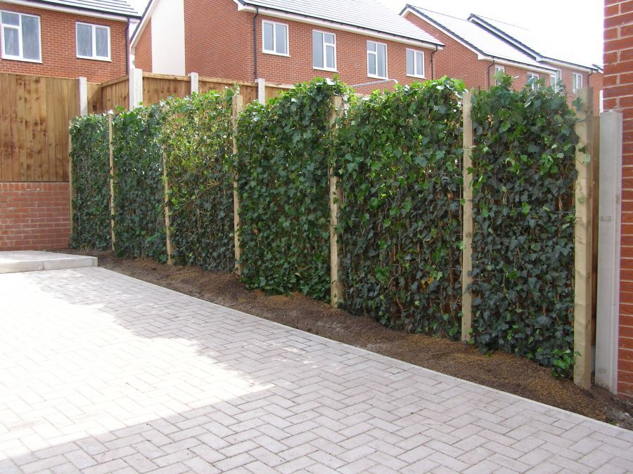 Hedera Helix Woerner Fence Landscaping Backyard Fences