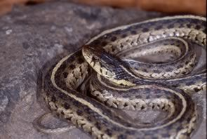 Eastern Garter Snake North Carolina Snake North Carolina Carolina