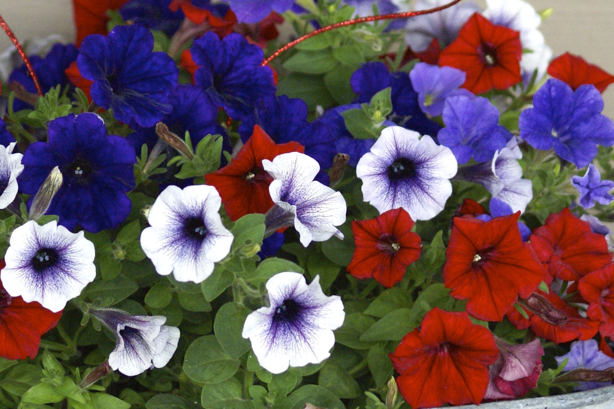 Red-white and blue flowers, pansy, 4th of july, independence day ...