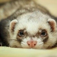 9 Amazing Benefits of Owning a Ferret