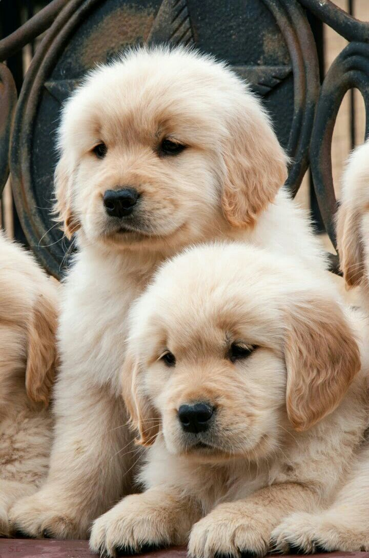Five 8 Week Old Golden Retriever Littermates Sitting In A Wooden