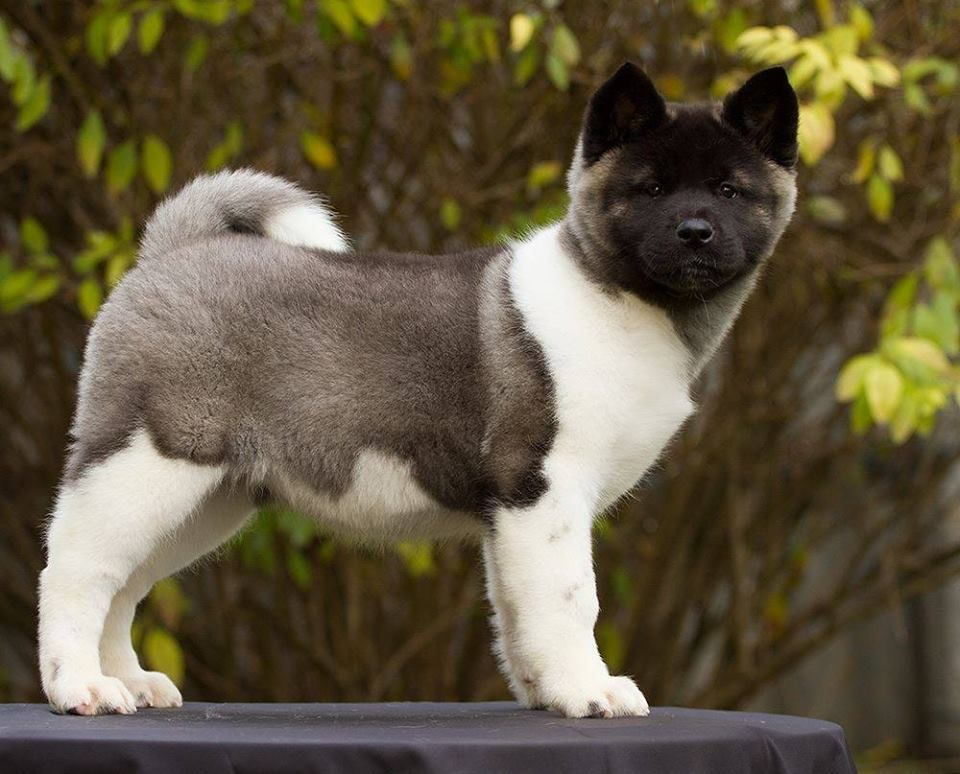 American Akita Puppies For Sale Hungary Akita Puppies For