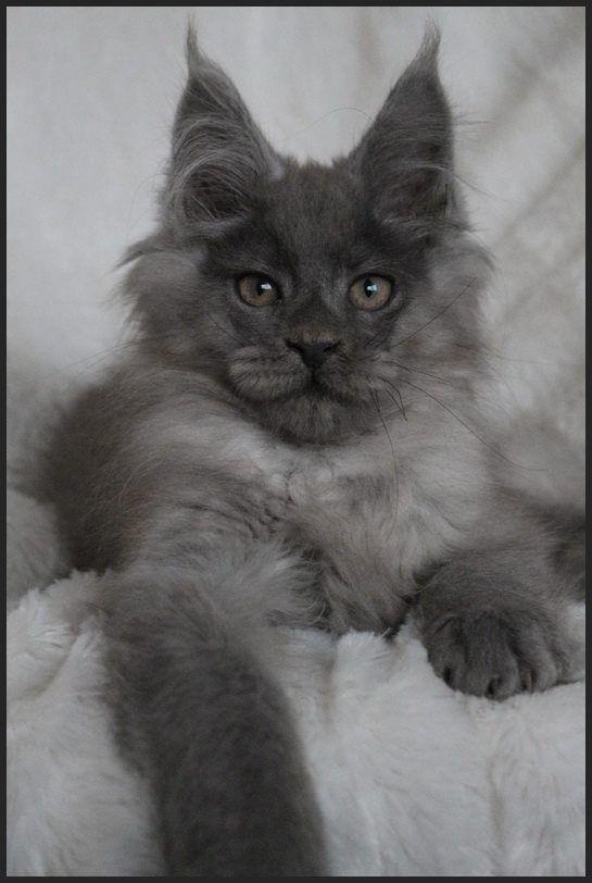 Big Hannibals Aynstein Blue Smoke Male Maine Coon Cat