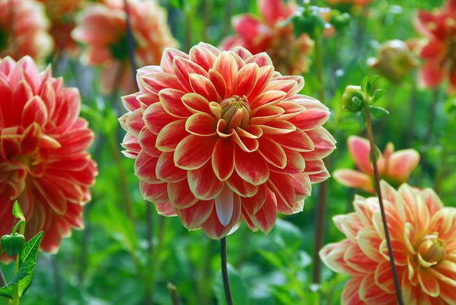 Great Dahlia U0027Garden Festivalu0027 Is Incredibly Beautiful With Its Showy Fire Bright  Orange Petals Edged By The Thinest Gold Markings That Highlight The Perfect  Form ...