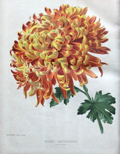 Flower Art Image By Melody Best On Birth Month Flowers Flower Painting Chrysanthemum Painting