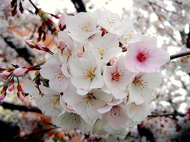 le cerisier fleurs japonais sakura jardinage pinterest fleurs japonaises les cerisiers. Black Bedroom Furniture Sets. Home Design Ideas