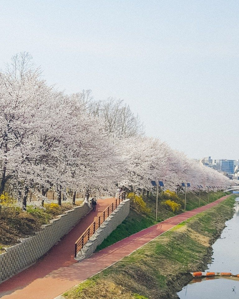 Best Places To See Cherry Blossoms In Korea A Finn On The Loose Latar Belakang Latar Belakang Animasi Aktor