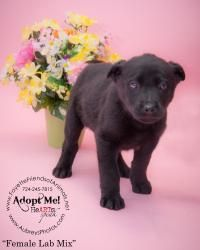 Adopt Z Puppy Application Approved On Puppies Labrador