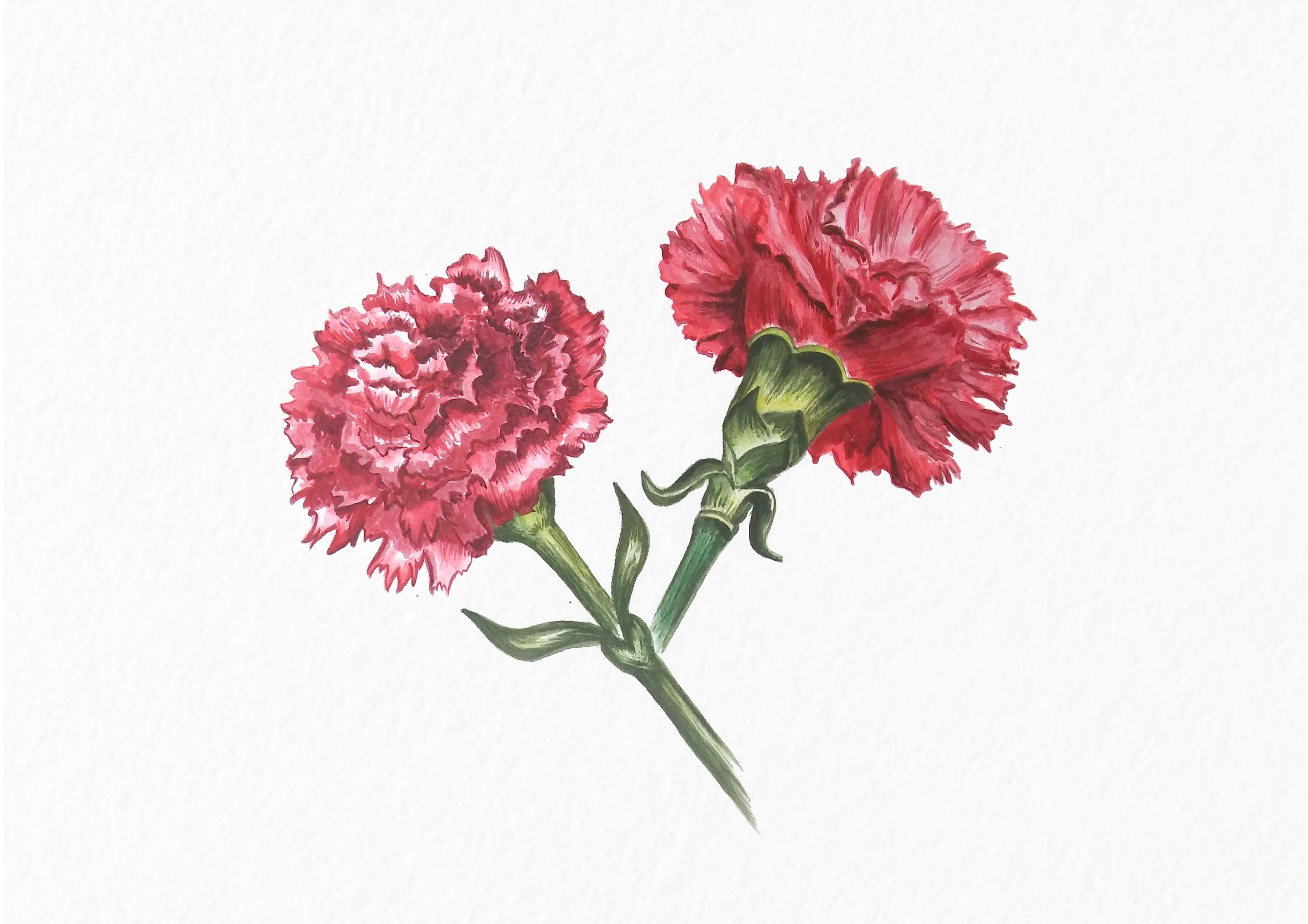 Popatrz Na Ten Projekt W Behance Carnation Flower Watercolor
