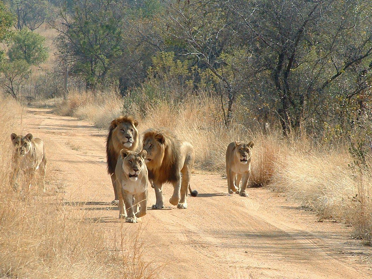 Afrika Safari Lowen Im Afrika Reisefuhrer Http Www Abenteurer