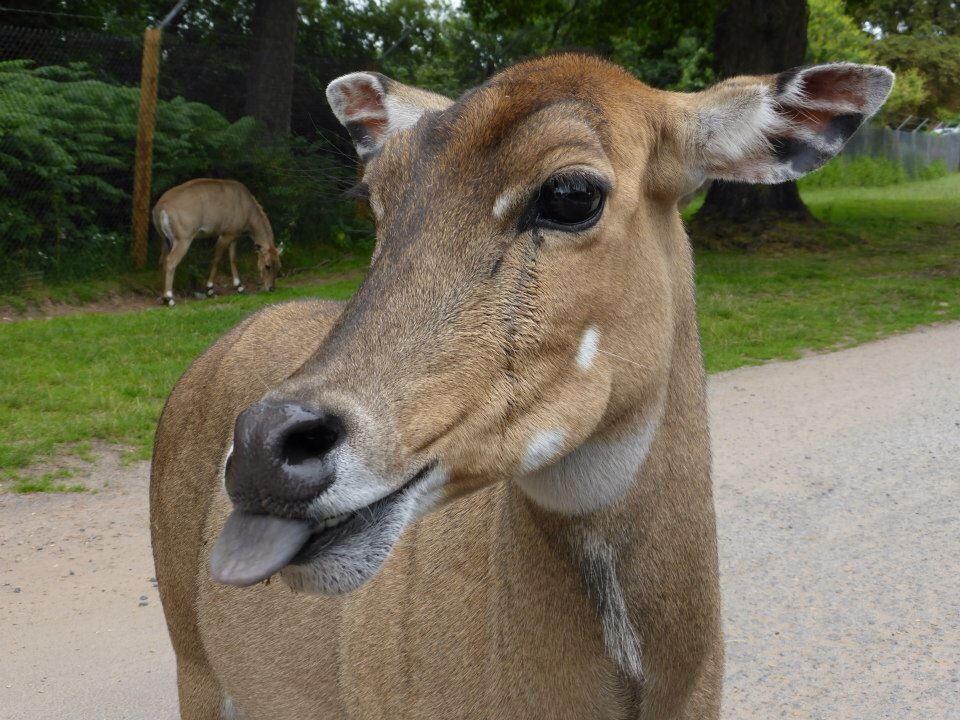 Cheeky!!! Deer at West Midland Safari Park