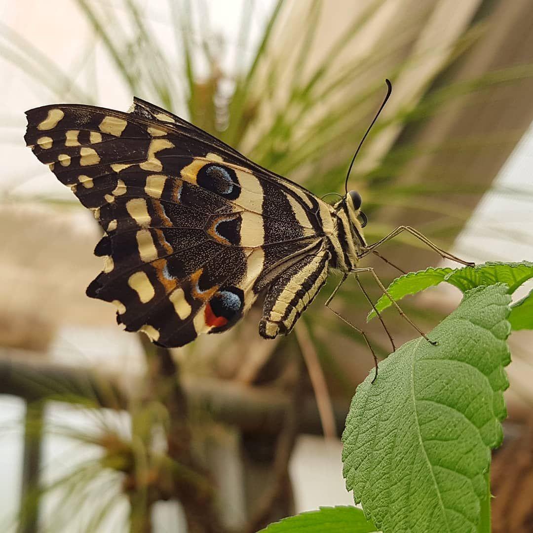 Gartenderschmetterlinge Friedrichsruh Aumuhle Schmetterling Butterfly Schmetterlinge Butterflies Sc Garten Garten Der Schmetterlinge Schmetterlingshaus