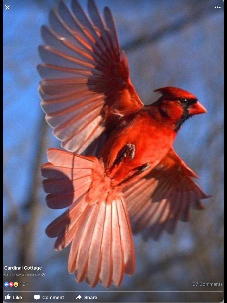 Pin By Ana Solis On Cardinals Beautiful Birds Cardinal Birds Red Bird Tattoos