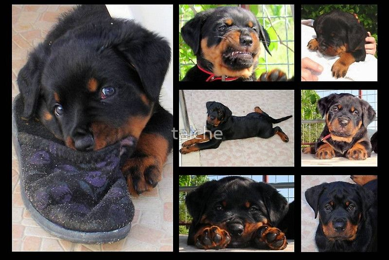 Collage Of Cute Female Rottweiler Puppy Poster By Taiche