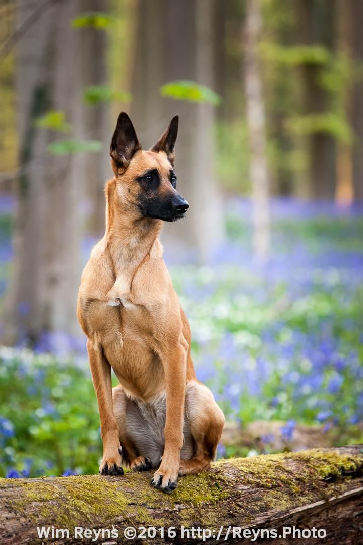 Malinois Laya Between Bluebells In The Hallerbos Belgium Belgian Malinois Dog Belgian Dog Malinois Dog