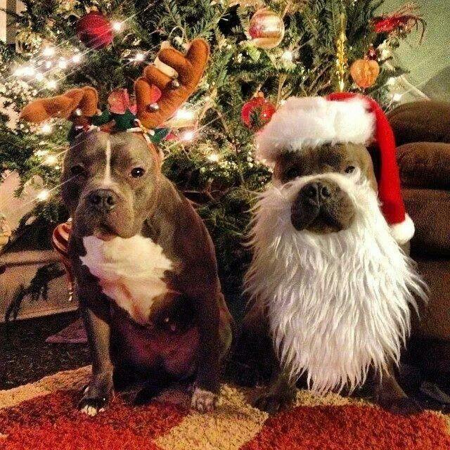 Holiday cheer, pitbull style animal jam Pinterest Cheer, Pit
