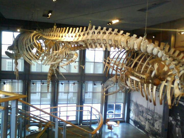Whale Skeletons. New Bedford Whaling Museum
