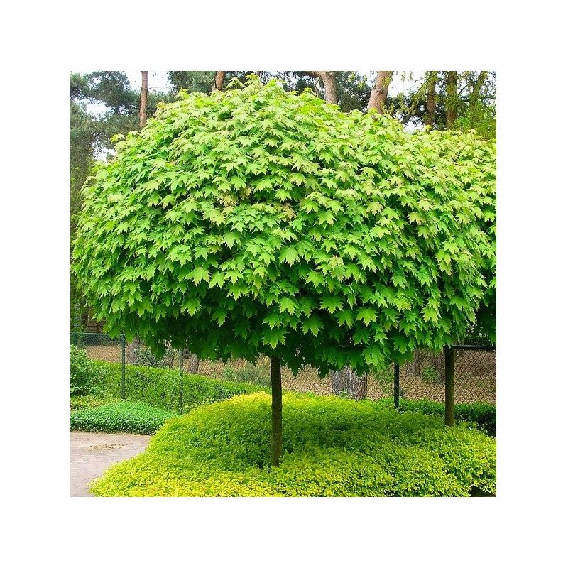 acer platanoides globosum rable plane boule nowiec pinterest acer garden ideas and gardens. Black Bedroom Furniture Sets. Home Design Ideas