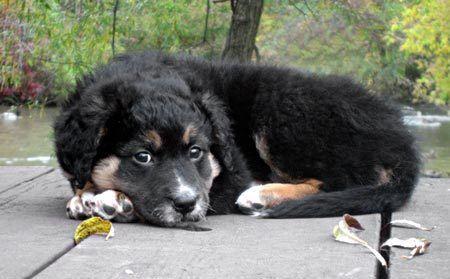 Sailor - German Shepherd Mix Puppy for Sale in Loganton, PA