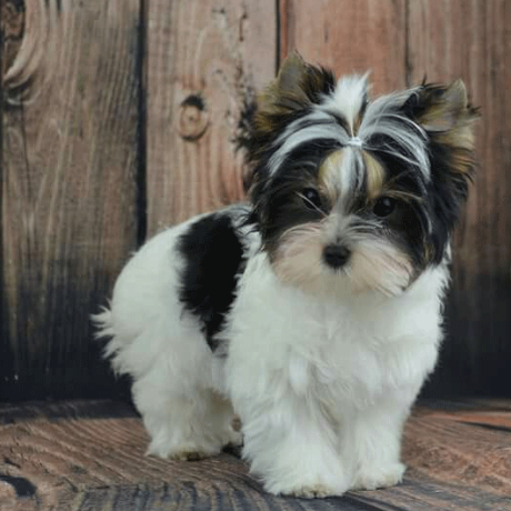 It S Hard To Find Morkie Puppies For Sale Biewer Yorkie Morkie Puppies Yorkie Puppy