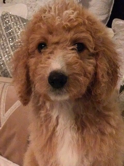 Litter Of 4 Goldendoodle Puppies For Sale In San Antonio Tx Adn