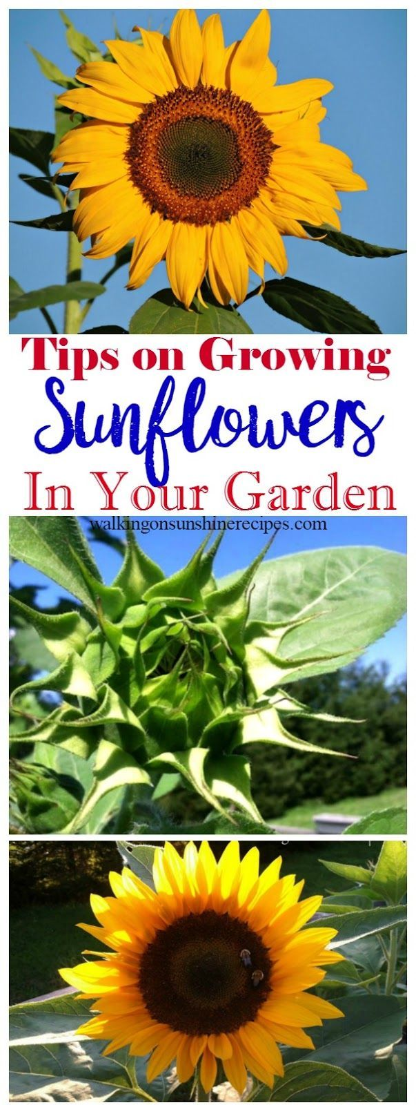 Sunflower Garden Ideas how to grow huge sunflowers 5 Tips For Growing Sunflowers In Your Garden Is This Weeks Thursdays Tip From Walking On