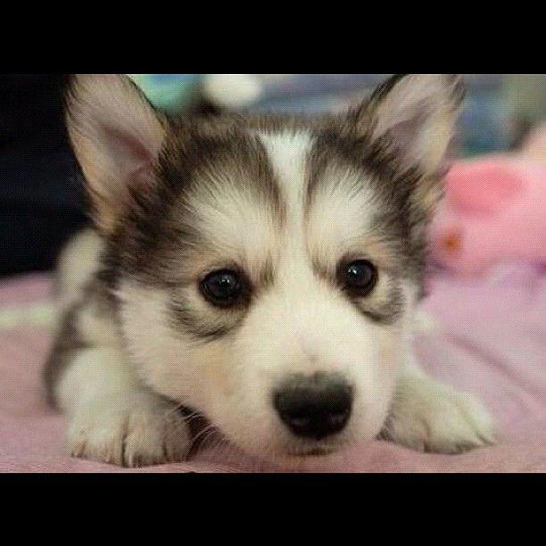 #cute #husky #puppies #pets #animal #dog #love #girl # ...