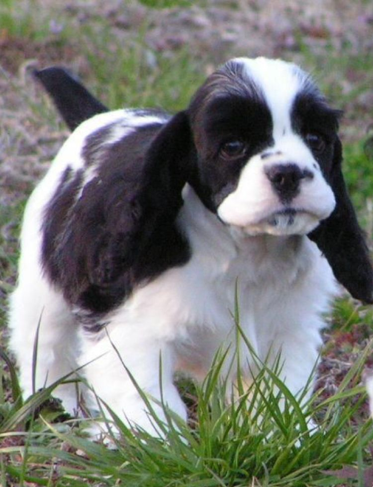 Black White Cocker Spaniel Puppy Cocker Spaniel Puppies Cocker Spaniel Dog American Cocker Spaniel