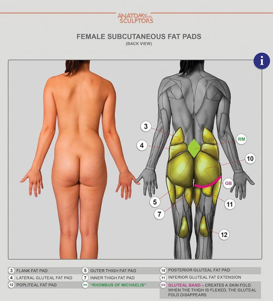 female subcutaneous fat pads by anatomy next figure sculpture