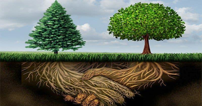 Uma rede conecta um sistema de raízes de árvores a outro sistema de raízes  de árvores, para que possam trocar nutrientes e…   Raízes de árvores,  Arvores, Paisagismo